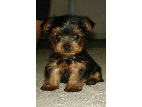 YORKIE puppies non-shedding hypo-allergenic little beauties Great Gifts sweet as sugar cute as a