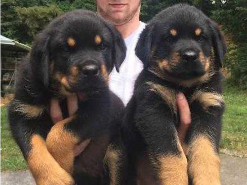 GRAY KENNELS  SECURITY Obedience Training Taking Deposits on Rottweiler Puppies Ready Now Shots W