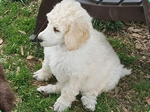 STANDARD POODLE puppy AKC Reg parents on premise 1 chocolate male tail cropped declaws removed