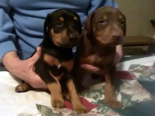 DOBERMAN PINSCHER puppies AKC 1 black  rust male 1 black  rust female 3 red  rust femal