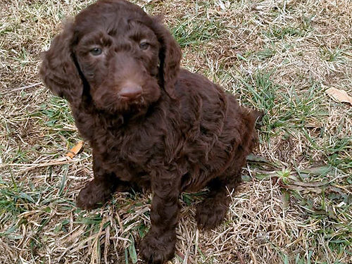 STANDARD POODLE puppy male chocolate 7wks old shots  wormed very cute loving  smart 800 pet