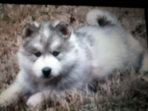 SIBERIAN HUSKY puppies Full Blooded 3 females 2 males 3 with blue eyes 2 with brown eyes 7
