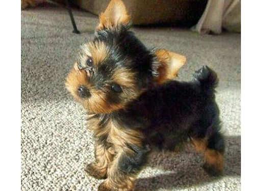 YORKIE CKC puppies very healthy beautiful faces short legs luxurious hair very playful shots