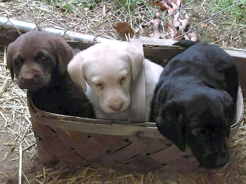 LABRADOR puppies AKC chocolate yellow black first shots  wormed 2X parents on site Clintwood