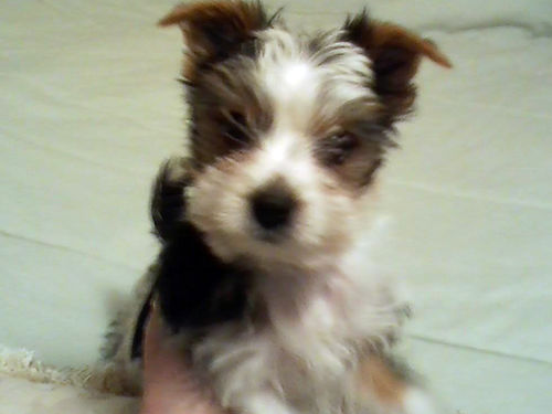 PARTI YORKIES Adorable male  female 10 weeks 1st shots  wormed 950 each serious calls only 423