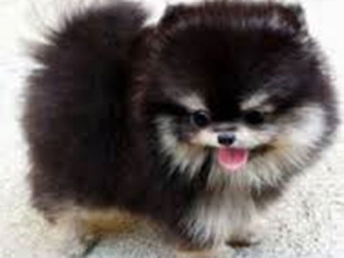 POMERANIAN puppies CKC reg solid  Parti colors males  females shots  worming UTD 450 and up