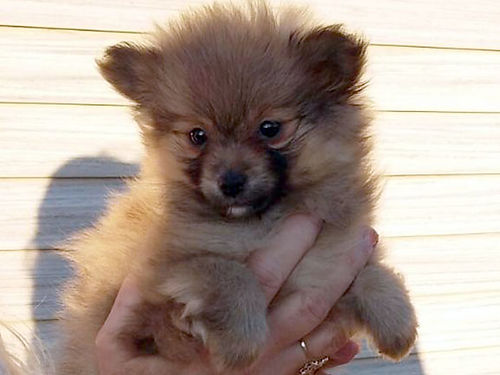 POMERANIAN puppies Reg males will be very small Parti colors very precious excellent personalit