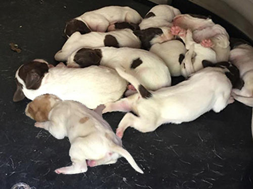 ENGLISH POINTER puppies FDSB reg females  males orange  white ready March 9th UTD shots  wor