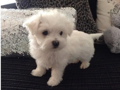 MALTESE Pocket puppy non-shedding hypo-allergenic must see these bouncy beauties great tempermen
