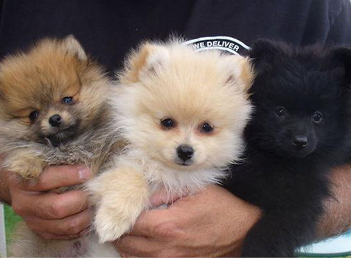 POMERANIAN puppies different colors these powder puffs have lots of love to give someone special