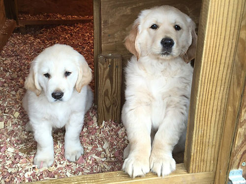 GOLDEN RETREIVER puppies AKC  CKC DNA certified parents on premises shots  wormed bred for di