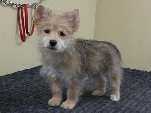 YORKIE POM PUPPIES CKC males and females 12wks UTD shots  wormer vet checked 350 423-617-1478