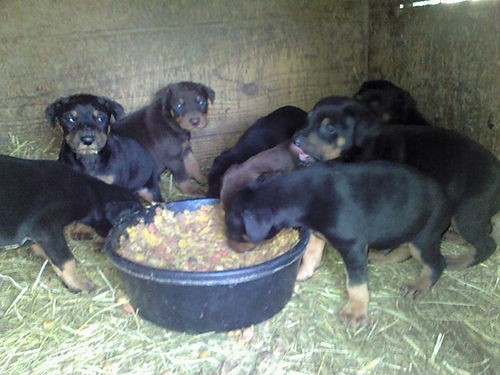 DOBERMAN PINSCHER puppies full blooded males  females red  rust black  rust will be UTD on s