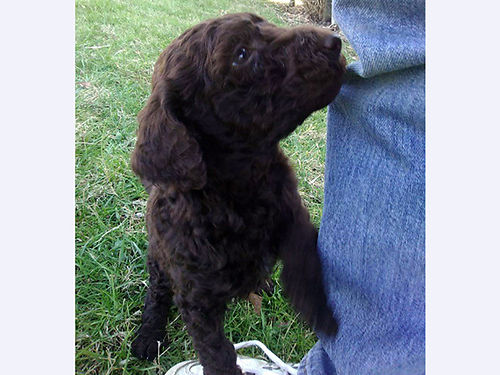 STANDARD POODLE puppies 10wks old 2 chocolate males 1 black female UTD on shots  worming t