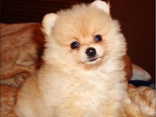 POMERANIAN PUPPIES CKC all females red creams shotswormer UTD 500 Cash Only 423-348-8272 or 423
