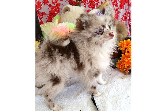 POMERANIAN puppies different colors exotic blue merle  chocolate merle wonderful pets  companio