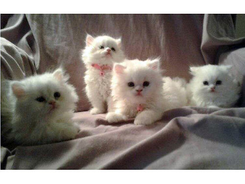 PERSIAN KITTENS Reg white little balls of fluff 2 males 2 females Ready for there furever ho
