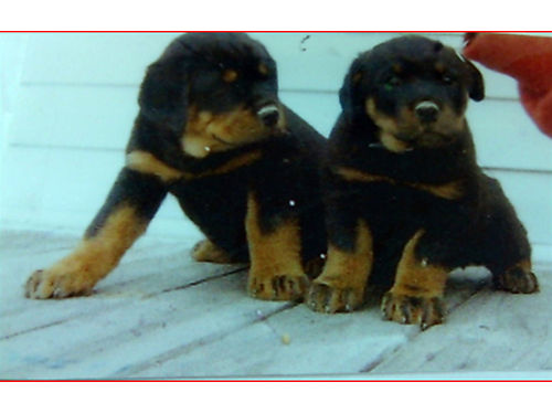 ROTTWEILER PUPPIES 2 6wk old boys AKC dewclaws-tail done UTD shotswormer 600 423-348-9033