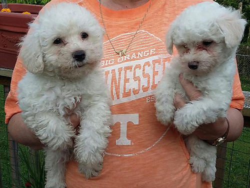 POODLE PUPPIES solid white great personalities will be small loves to get and get loving parents
