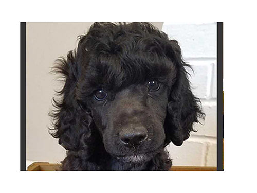 STANDARD POODLE Puppies AKC tails docked  dew claws removed by vet 1st shots dewormed 8wks 3
