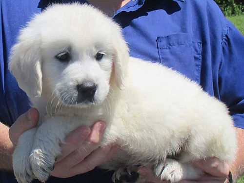 GOLDEN RETRIEVER puppies AKC 100 English cream loving wonderful healthy family pets vet checked
