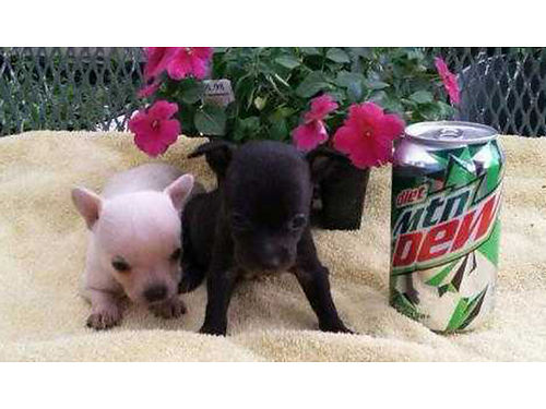 CHIHUAHUA puppies Tiny Applehead Chihuahuas 6wks old 400 Miniature Daschunds 7wks old 350 Pom