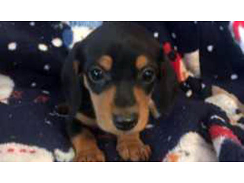 MINIATURE DASCHUND puppies 1st shots  wormed males  females born May 4th 500 423-923-2299