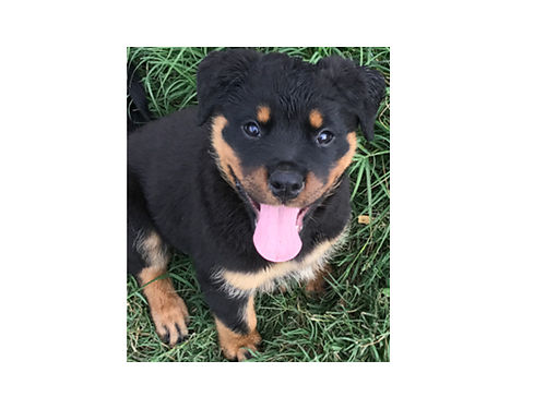 ROTTWEILER PUPS AKC German males  females 9wks Champion ADRK Bloodlines vaccinations utd swee