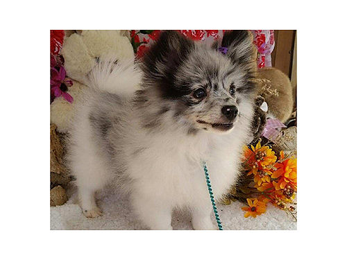 POMERANIAN Rare Blue Merle Must see these boucing beauties great temperments friend of a lifetime