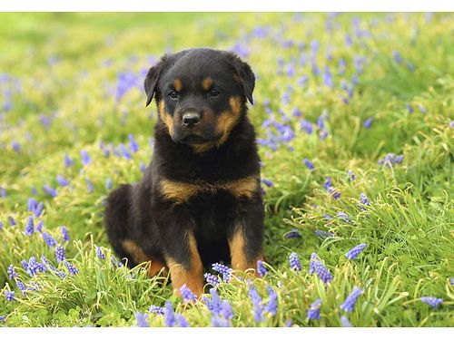 GERMAN ROTTWEILER PUPPIES AKC Champion Bloodline Google Imperator Vom Haus Zschammer 5 males