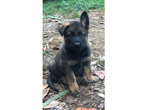 GERMAN SHEPHERD puppies AKC exceptional Czech working bloodlines beautiful extremely intelligent