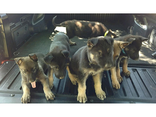 GERMAN SHEPHERD puppies AKC reg 5 females 1 male born May 22nd parents on premises shots