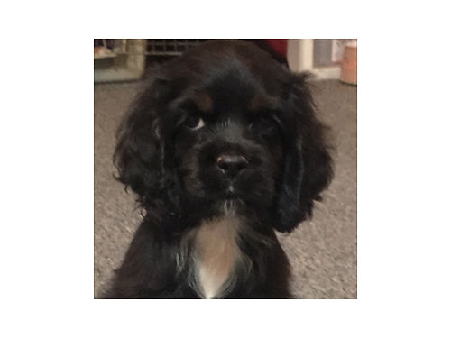 AMERICAN COCKER SPANIEL puppy AKC 2nd shot vet checked health guarantee will be small Champion
