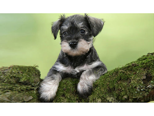MINIATURE SCHNAUZER puppies males  females salt  pepper liver tan chocolate  white 600 bla