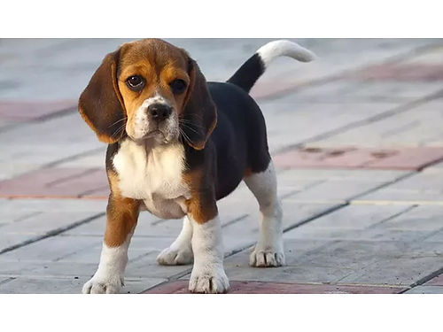 BEAGLE PUPPIES AKC reg 13 1 male 1 female tri colored UTD shots  worming ready now 200