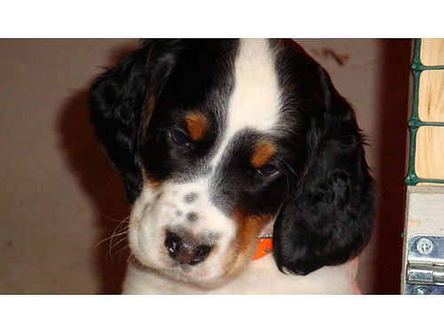ENGLISH SETTER puppies FBSB reg males  females strong hunting backgrounds tri-colored ready no