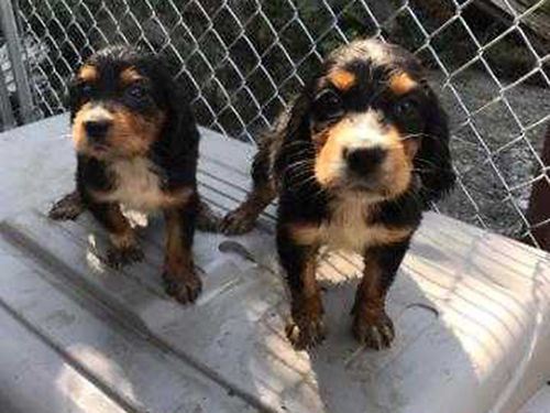 SETTER CROSS puppies 12 Gordon Setter 12 Llewelin setter males  females strong hunting backgro