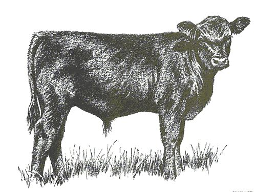 REGISTERED ANGUS BULLS FOR SALE SEVERAL BLOODLINES ...