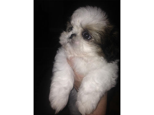 SHIH-TZU puppies males  females Toy Imperials small CKC reg UTD shots  worming tri-colored
