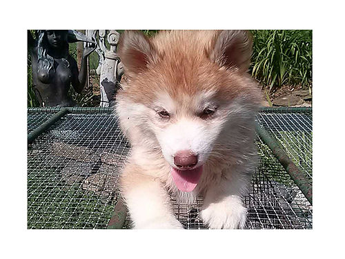 SIBERIAN HUSKY puppies AKC  CKC reg males  females 13wks old red  white sable  white gray