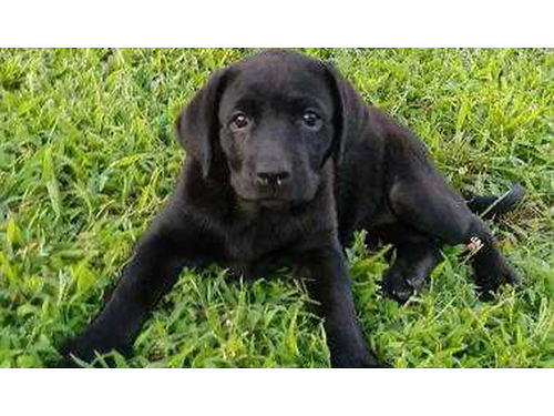 LABS Beautiful AKC Lab puppies very playful and smart 1st shots and wormed Ready Now 450 276-594