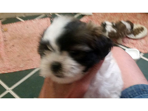 SHIH-TZU Poodle designer breed puppies for sale females 600 770-722-1328