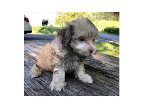 SHIH-ZU Poodle designer breed male puppies for sale 400 770-722-1328
