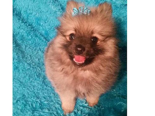 POMERANIAN pocket puppies rainbow of colors must see these bouncing beauties great house pets  f