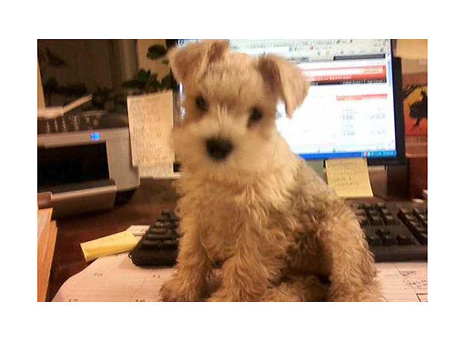 MINIATURE SCHNAUZER puppies 3 white males 1 white female CKC reg wormed first shots non-sh