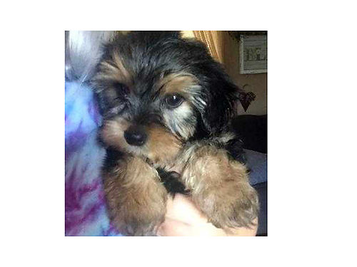 YORKIE puppies males born 052917 first shots  wormed full of personality 700 423-923-2299