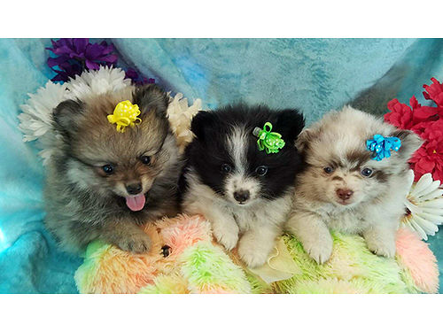 POMERANIAN puppies these babies come in a rainbow of colors excellent temperments a friend  comp