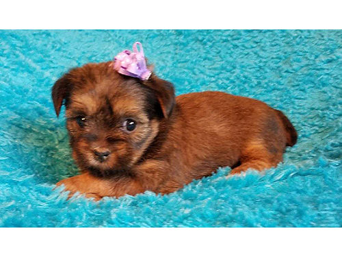 SHORKIE puppies half Shih-Tzu  half Yorkie get the best of both worlds these babies are hypo-all