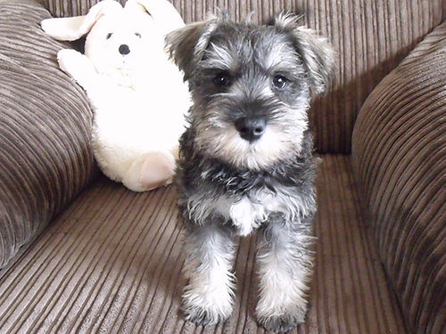MINIATURE SCHNAUZER reg puppies salt  pepper liver tan chocolate tails docked dewclaws removed
