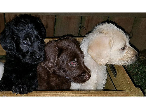 LABRADOODLE puppies 12 weeks old 1 black female 1 cream male 600 each 423-213-6615